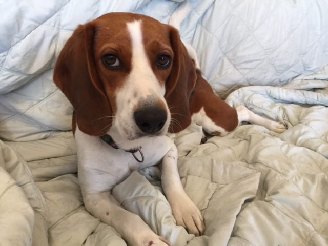 Download Super Cute Beagle Adorable Dog - lucy-use  Photograph_1002523  .jpg