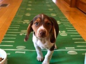puppy football super bowl